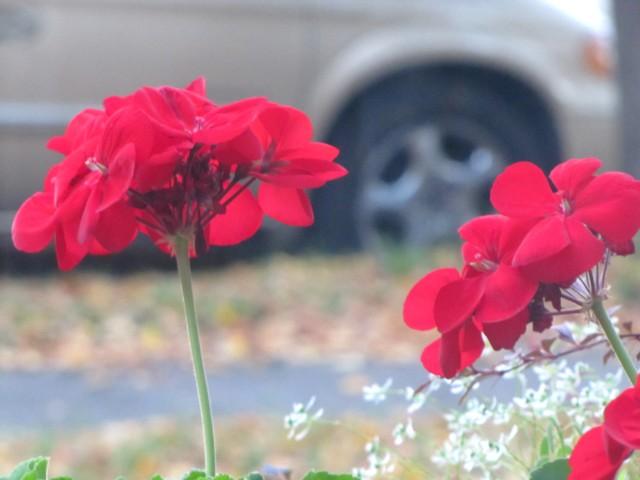 Redblooms