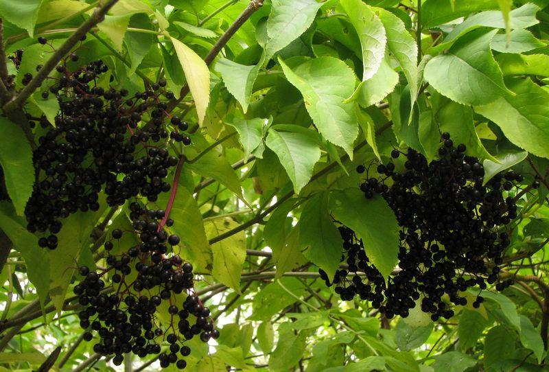 Elderberries2