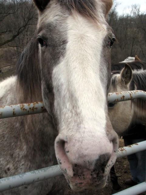 Greyhorse