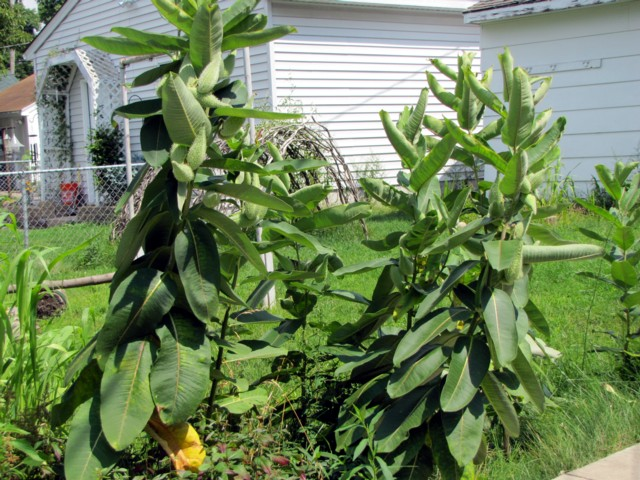 And our garden has been taken over by milkweed...